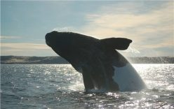 Whale in Valdes Peninsula