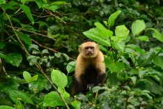 COS_Arenal_CanoNegro_Monkey_JMS_staff (1)