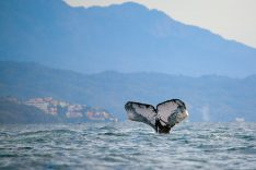 Whale in Banderas Bay